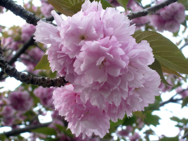 大分の国東人八重桜